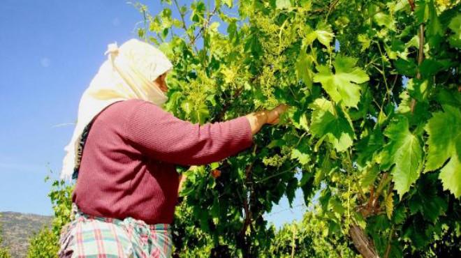 Asma yaprağı ile aile ekonomisine katkı