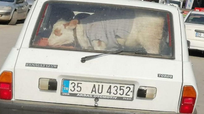 Hasta buzağıyı otomobille veterinere götürdü