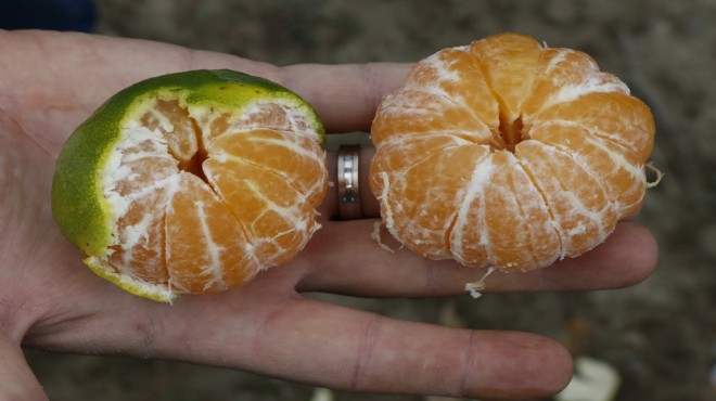 İzmir'de mandalina sevinci: Verim 3 kat arttı!