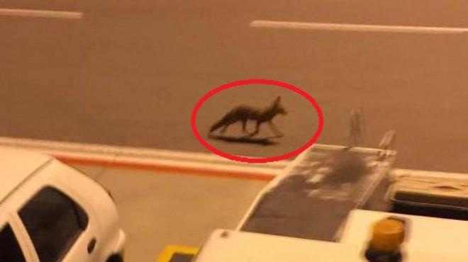 İzmir'de sıradan bir gün: Uçaktan inenleri tilki karşıladı!