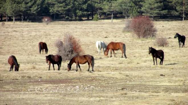 Kocayaylanın özgür Sürüleri Yılkı Atları
