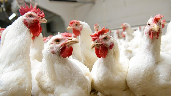Kümes hayvanı eti kanser riskini azaltıyor