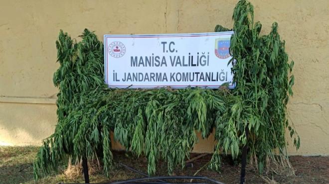 Manisa'da 550 kök kenevir ele geçirildi