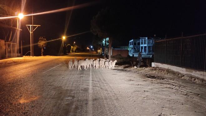 Manisa'da büyük operasyon: Koyun firarda!