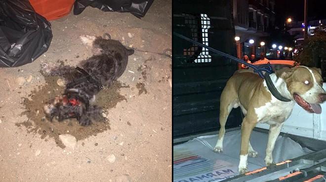 Marmaris'te dehşet! Pitbull, saldırdığı süs köpeğini öldürdü