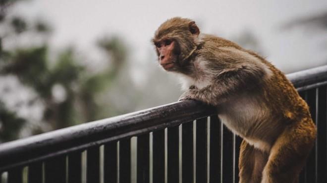 Maymun çetesi koronavirüs kan testlerini çaldı!