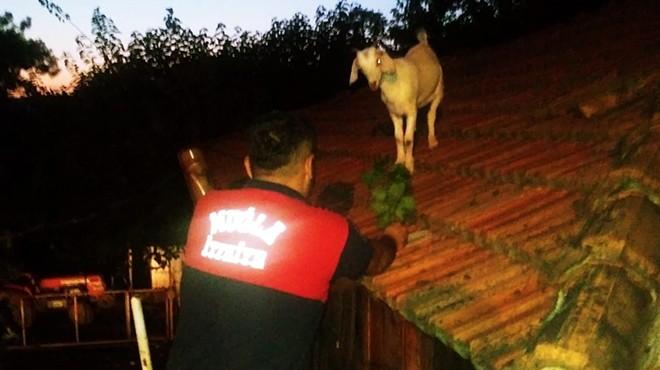 Muğla'da çatıya çıkan keçileri itfaiye kurtardı