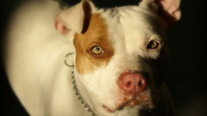 Pitbull cinsi köpekler neden saldırıyor? İşte nedeni...