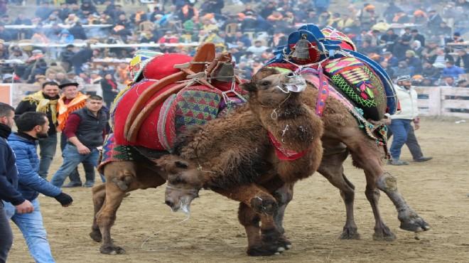 Selçuk'ta deve güreşleri başlıyor!